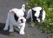 Regalo cachorros bulldog frances macho y hembra