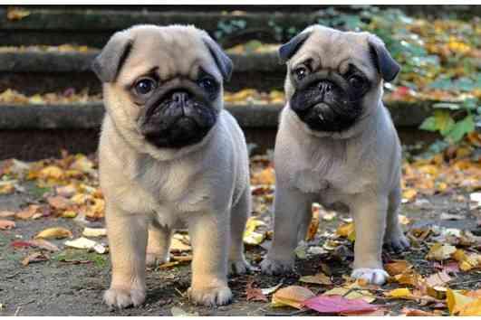 Cachorros Carlino macho y hembra