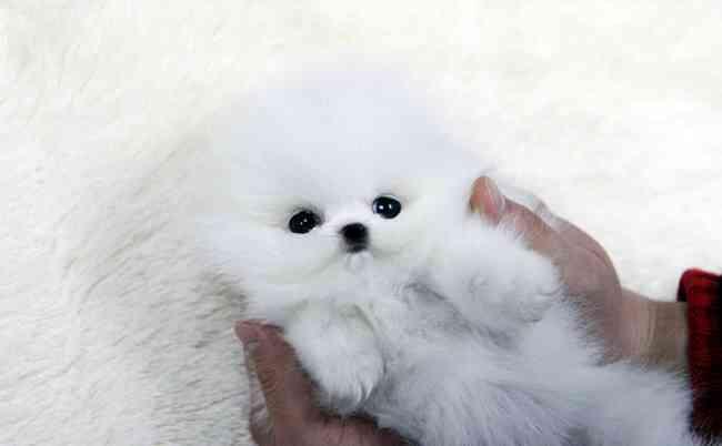 Bastante pequeños cachorros de Pomerania para la adopción