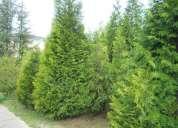 Plantas ornamentales thuyas y servicio de jardinería
