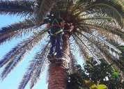 Limpieza y tala de palmeras.