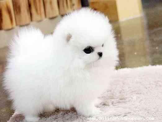 Adorable cachorros Pomeranos