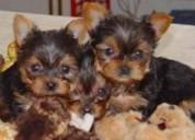 Cachorros yorkshire terrier (yorkie)