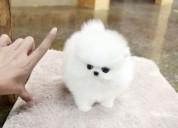 Regalo Cachorro de Pomerania inestimable blanco pa
