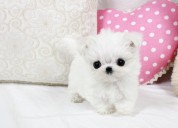Regalo preciose cachorros bichon maltes mini toy g