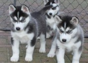 Regalo camada de preciosos siberian husky cachorro