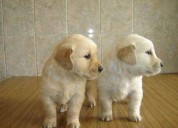 Regalo magnificos golden retriever cachorros