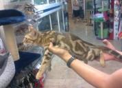 Regalo gatitos de bengala lindo y hermoso para ado
