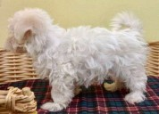 Regalo preciosos cachorros de bichón maltés mini t