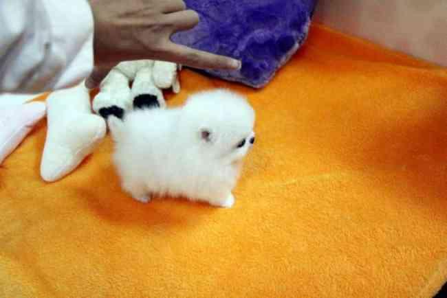 Cachorro Pomeranian Meri Parti-Color