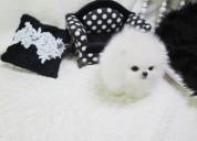 Cachorro hembra pomerania - disponible ahora!