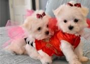 Muy dulces encantadores cachorros bichon maltes