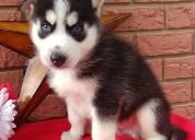 Lindos y adorables cachorros de husky siberiano