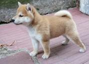 Inicio criado shiba inu cachorros