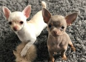 Chihuahhua cachorro macho y hembra