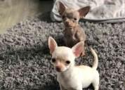 Chihuahhua cachorro macho y hembra b