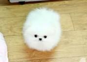 Lindos cachorros de juguete de tamaño pomerania
