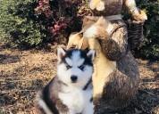 ~~ cachorros de siberian husky registrados