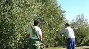 Se buscan personas para recolectar aceituna,oliva,