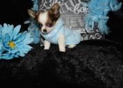 Regalo perros de chihuahua para adopcion