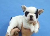Linda de los perritos malteses blancos lindos