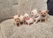 Chihuahua cachorros lindo para navidad