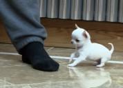 Muy bonitos cachorros de chihuahua toy