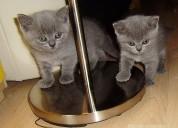 Gatitos de pelo corto azul británico