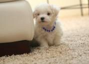 Adorables cachorros bichon maltes