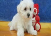 Adorables cachorros de chihuahua en venta