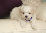 Cachorritos bichon maltes mini toys y micros