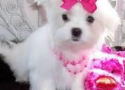 Preciosos cachorros de bichon maltes tenemos