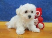 Tienda vende cachorros de bichón maltés