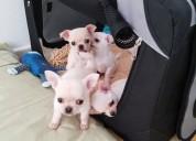 Mini toy cachorros de chihuahua para el nuevo aÑo
