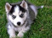Hembra husky siberiano cachorros