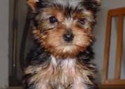 Nueva camada yorkshire terrier