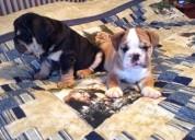 Macho y hembra camada de bulldog ingles