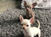 Cachorros de  chihuahua de pura