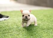 Bulldog frances para adopcion gratis