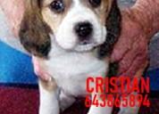 Cachorros beagle bicolores y tricolores