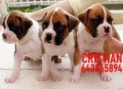 Cachorros boxer dorados atigrados y blancos