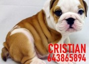 Cachorros bulldog ingles marron y blanco