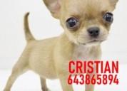 Cachorros chihuahua toy miniatura