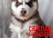 Cachorros husky siberiano con ojos azules