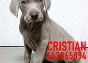 Cachorros braco de weimar grises azules y marrones