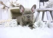 Regalo bulldog frances para adopcion