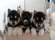 Destacados cachorros husky siberiano disponibles
