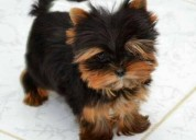 Regalo yorkshire terrier