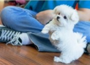 Lindos cachorros de bichon maltes para regalo grat