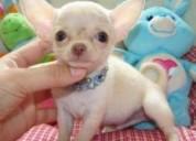 Chihuahua Cachorros para adopcion k 5a